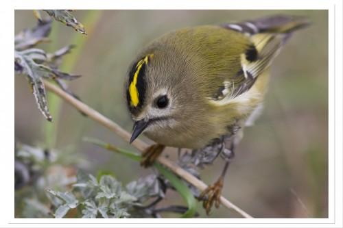 Europas minsta fågel Kungsfågeln